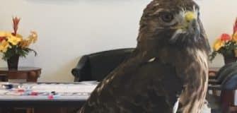 PSL red hawk